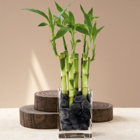 carrodemola-bambu-da-sorte-vaso